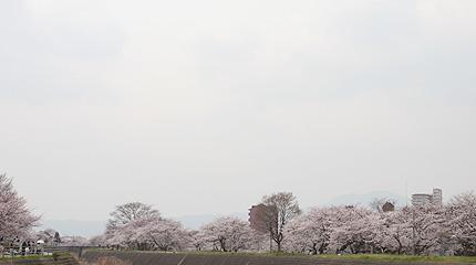 2008_0404sakura1.jpg