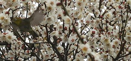 2009_0312mejiro1.jpg