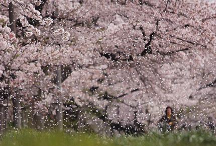 2011_0415hanafubuki.jpg