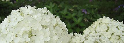 2007_0707_ajisai2.jpg