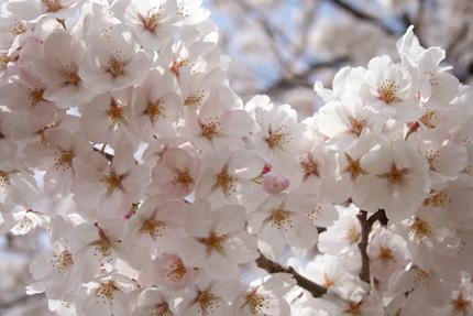 2008_0404sakura2.jpg