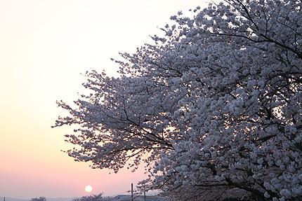 2008_0406sakura1.jpg