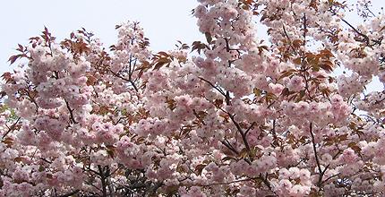 20100426sakura.jpg