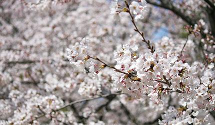 2010_0330sakura.jpg