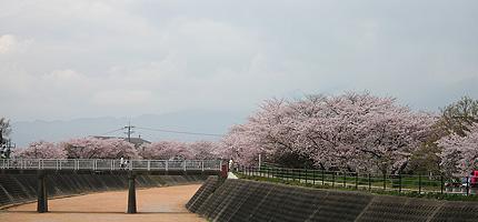 2010_0411sakura.jpg