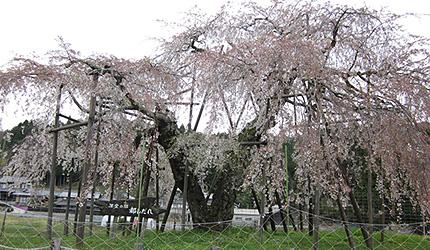 20110503hatasakura.jpg